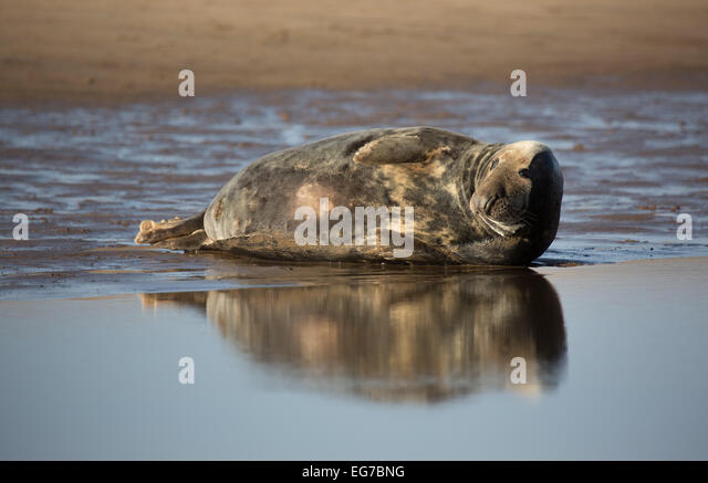 Grey seals, Donna Nook Beach, Lincolnshire - Stock Image