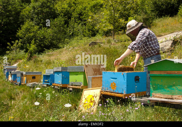 beekeper at work in Italy - Stock Image