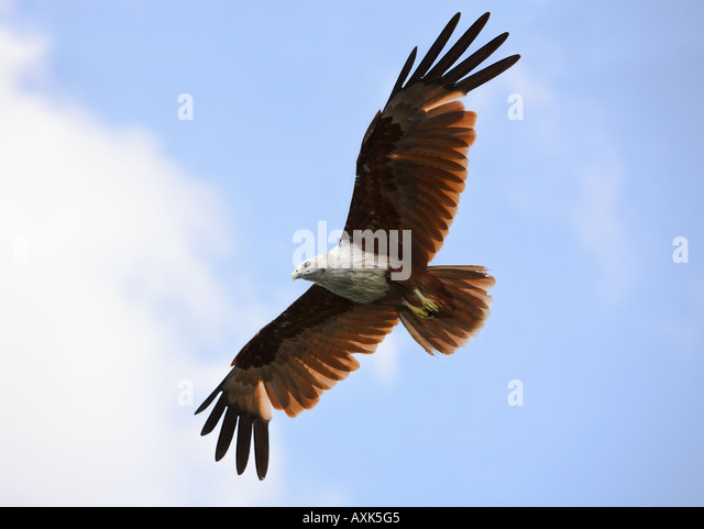 Eagle Brahminy Kite animal body bird wings span spread beak eye feathers high up in sky flying with clouds - Stock Image