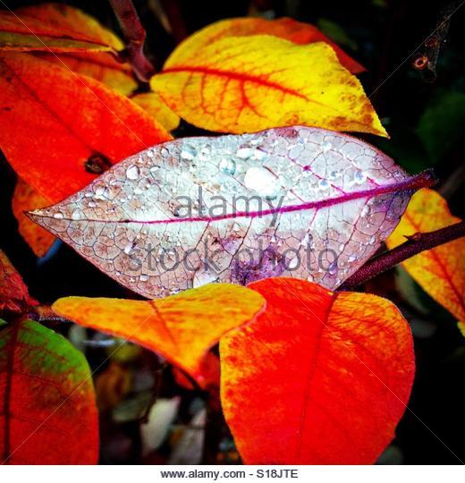 Blueberry leaves in fall. - Stock-Bilder