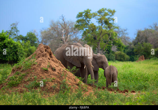 African elephant (Loxodonta africana), cow elephant with two young animals at a termite hill, South Africa - Stock Image