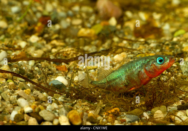 three-spined stickleback (Gasterosteus aculeatus), male building a nest, sticking nesting material together, Germany - Stock Image