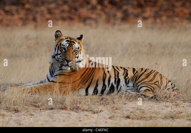 Dominant residential adult male Bengal tiger sitting in an open grassland in early morning light in Bandhavgarh, - Stock-Bilder