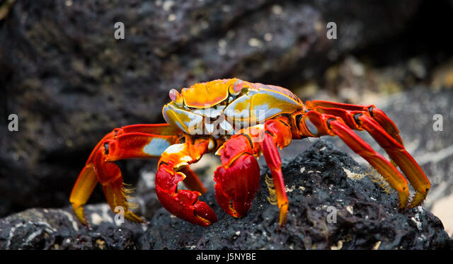 Red crab sitting on the rocks. The Galapagos Islands. Pacific Ocean. Ecuador. An excellent illustration. - Stock Image