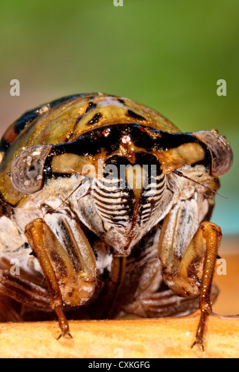Close up of a Cicada - Stock Image