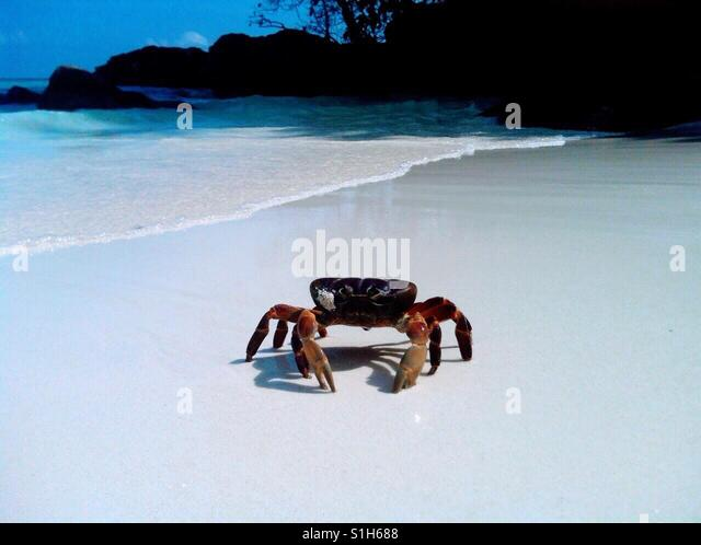 Large crab on the Koh Tachai Island beach...Similan Islands, Andaman Sea, off the coast of southwestern Thailand. - Stock-Bilder