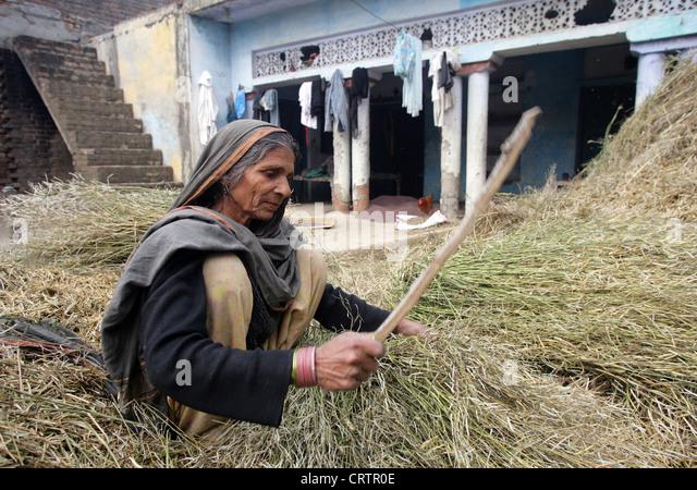 old woman threshing mustard plants, Chunnawala Village, Rampur Region, Uttar Pradesh, India - Stock-Bilder