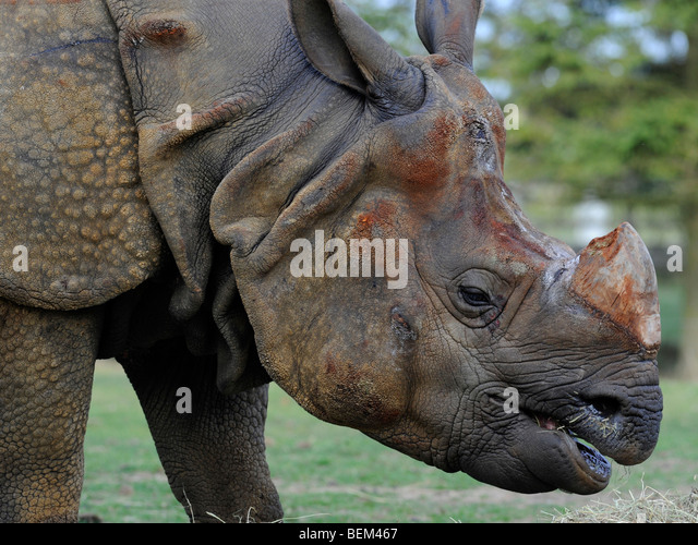 The head of a rhino. - Stock Image