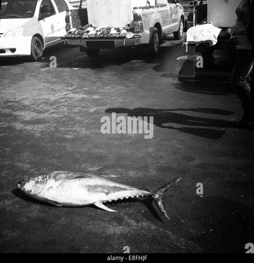 Oman, Muscat, Yellowfin tuna on floor of fish market - Stock Image