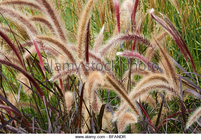ornamental grasses stock photos ornamental grasses stock. Black Bedroom Furniture Sets. Home Design Ideas