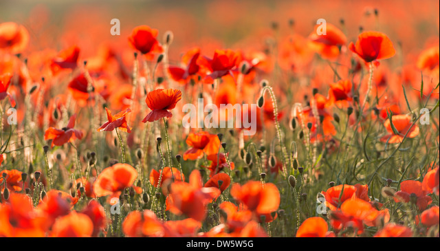 Wild Red poppies on a beautiful summers day, Dorset, England. Summer (July) 2013. - Stock Image