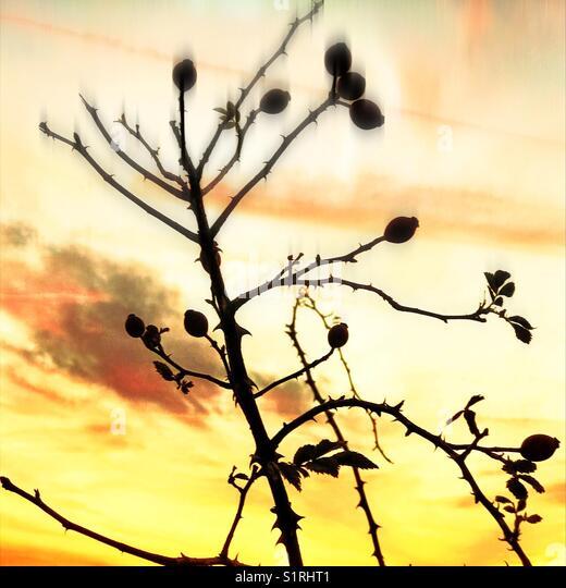 Autumnal Rose hips - Stock Image
