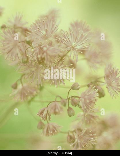 Thalictrum aquilegifolium Meadow rue - Stock Image