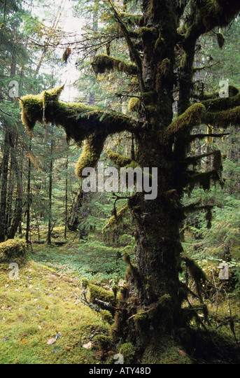 USA Arctic rainforest Gustavus Alaska with lichen on branches - Stock Image
