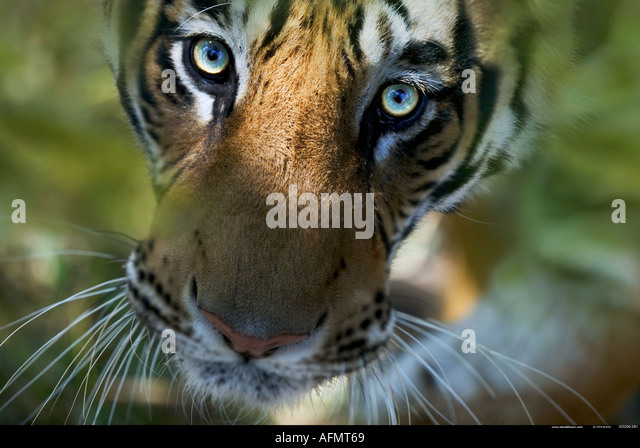 Bengal Tiger looking up Bandhavgarh India - Stock Image