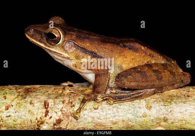 Common tree frog (Polypedates leucomystax) - Stock-Bilder