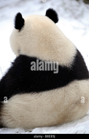 A giant panda at Beijing Zoo. 19-Feb-2009 - Stock Image