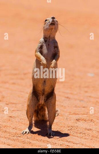 suricate, slender-tailed meerkat (Suricata suricatta), erect standing suricate picks up the scent, Namibia, District - Stock Image