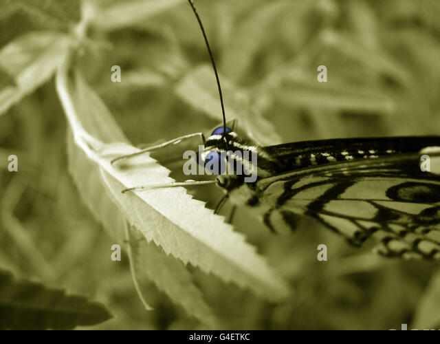 Butterfly Head - Stock Image