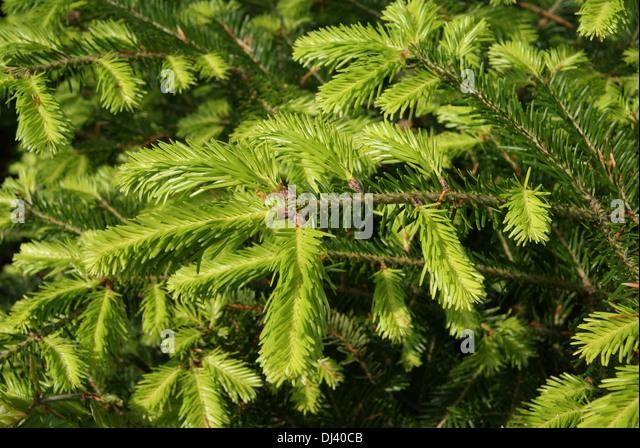Abies alba, Tanne, fir - Stock Image