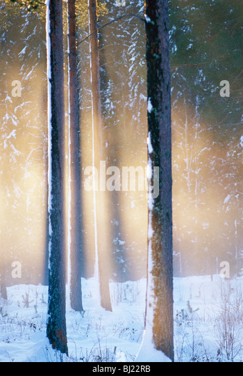 Pine against the evening sun, Sweden. - Stock-Bilder