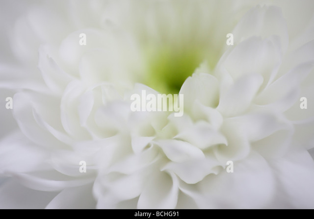 feminine white chrysanthemum fine art photography Jane Ann Butler Photography JABP414 - Stock Image