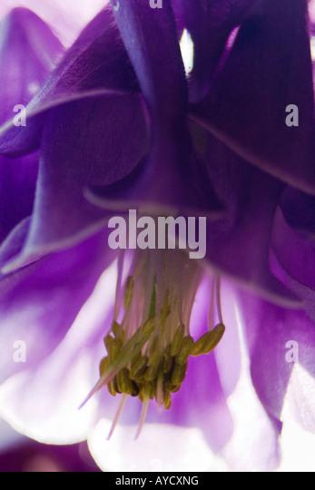 aquilegia vulgaris Rununculaceae head shot macro detail joseph dupouy macrophotographie - Stock Image