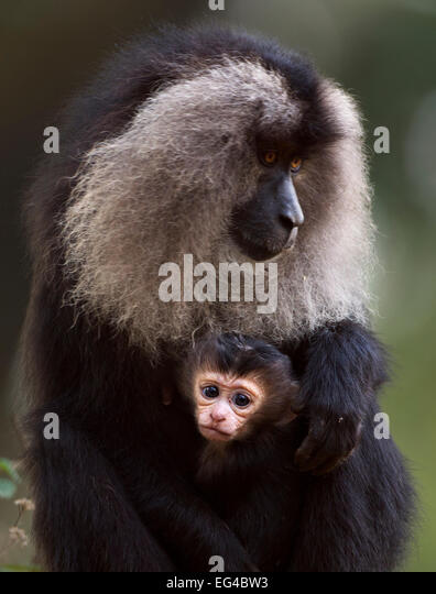 Lion-tailed macaque (Macaca silenus) female sitting her baby aged less than 1 month. Anamalai Tiger Reserve Western - Stock Image