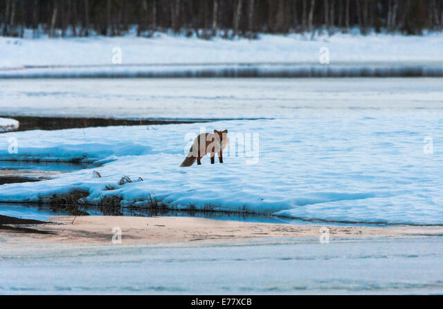 Redfox in winter landscape - Stock Image