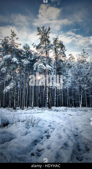 amazing winter forest - Stock Image