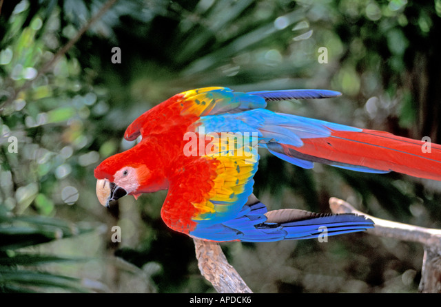 Tropical birds Amazon parrot red and blue macaw - Stock Image