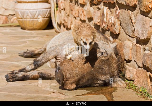warthog and meerkat relationship test