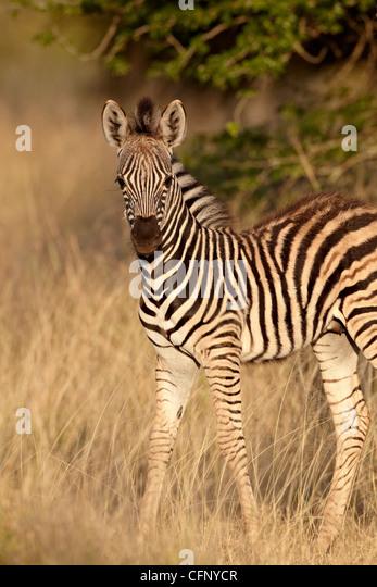 Chapman's zebra (plains zebra) (Equus burchelli antiquorum) foal, Kruger National Park, South Africa, Africa - Stock Image