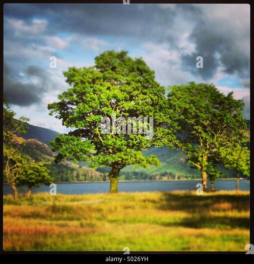 Tree beside Buttermere in the Lake District - Stock-Bilder