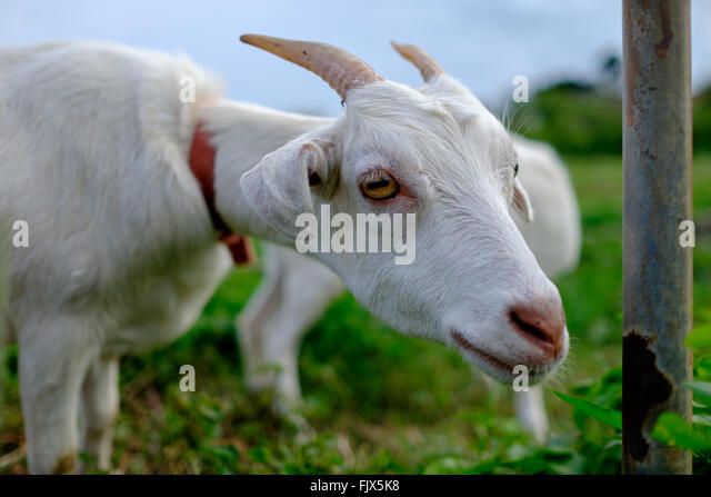 Close-Up Portrait Of Goat On Field - Stock Image