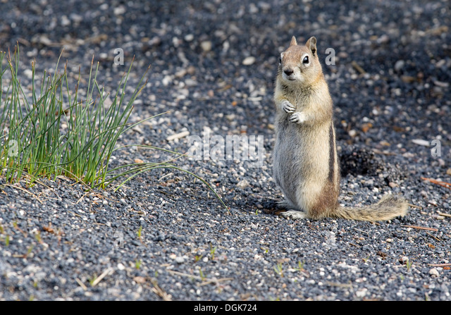 A timid gopher in Yellowstone National Park. - Stock Image