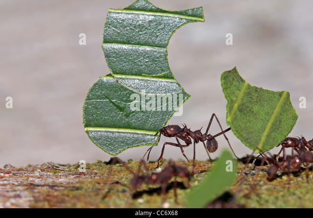 how to kill cutter ants