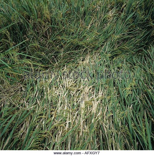 Sheath blight Rhizoctonia solani infection on flattened crice crop - Stock Image
