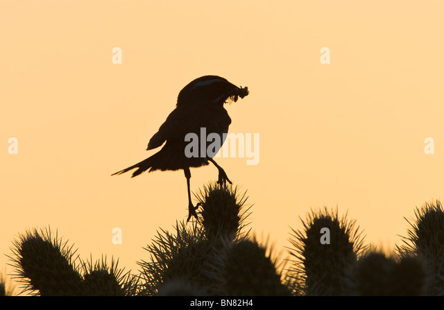 Black throated Sparrow with insect on Cholla Cactus - Stock-Bilder