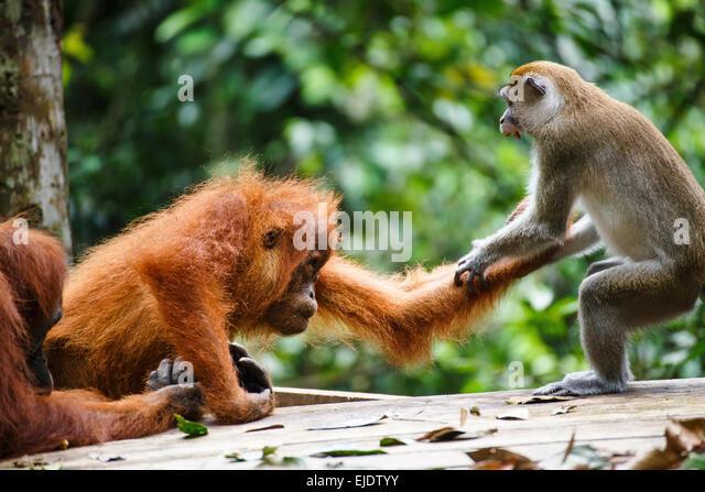 A child Sumatran orangutan (Pongo abelii) fights with a macaque in Gunung Leuser National Park in Northern Sumatra. - Stock Image