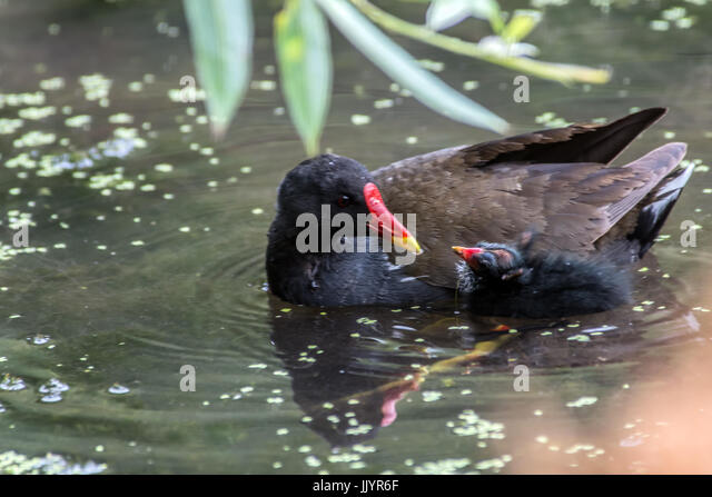 Melton Mowbray 21st July 2017: Baby Moorhens young Mallard ducks wetland wildlife town center pond on a dull grey - Stock Image