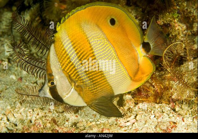 Orange banded butterflyfish Coradion chrysozonus Komodo National Park Indonesia - Stock Image