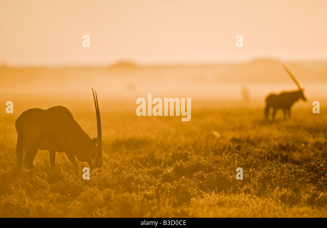 Africa, Botswana, Gemsbok herd (Oryx gazella) - Stock Image