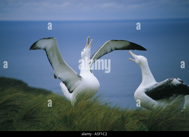 Southern Royal Albatross Diomedea epomophora epomophora pair courting or gamming Campbell Island New Zealand - Stock Image