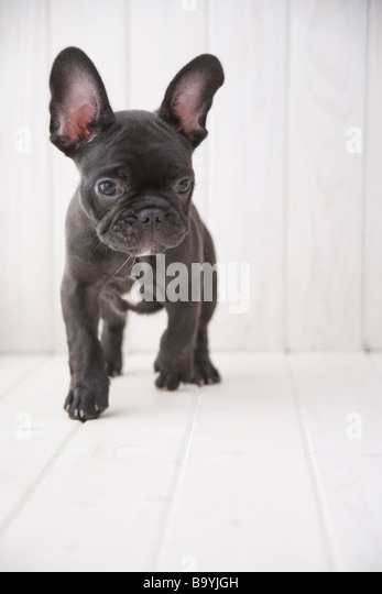 French bulldog walking - Stock-Bilder