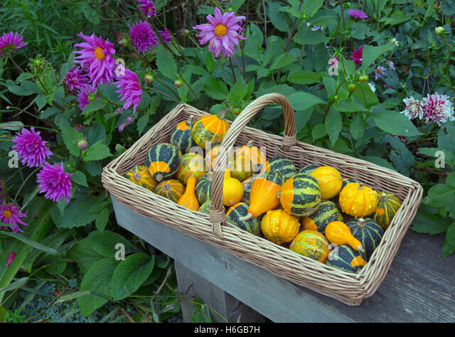 Mixed squashes on display ripe fruit in Autumn - Stock-Bilder