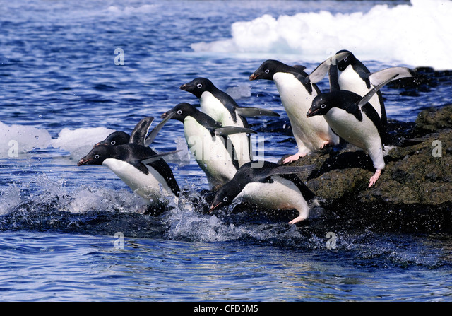 Adelie penguins (Pygoscelis adeliae) leaving on a foraging trip from their nesting colony, Antarctic Peninsula, - Stock-Bilder