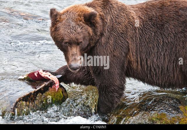 Grizzly Bear, Ursus arctos horriblis, eating salmon, Brooks River, Katmai National Park, Alaska, USA - Stock Image