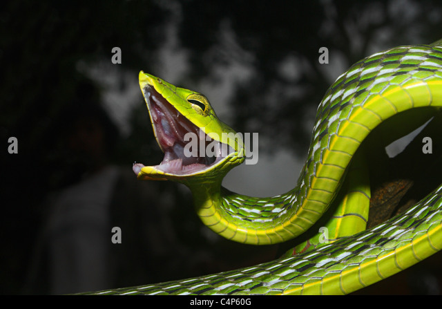 COMMON VINE SNAKE Ahaetulla nasuta  Mildly Venomous, Common - Stock Image