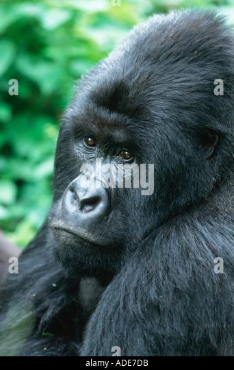 Mountain Gorilla Gorilla gorilla beringei Silverback male Rwanda Uganda DRC P N des Volcans Rwanda Rwanda Western - Stock Image
